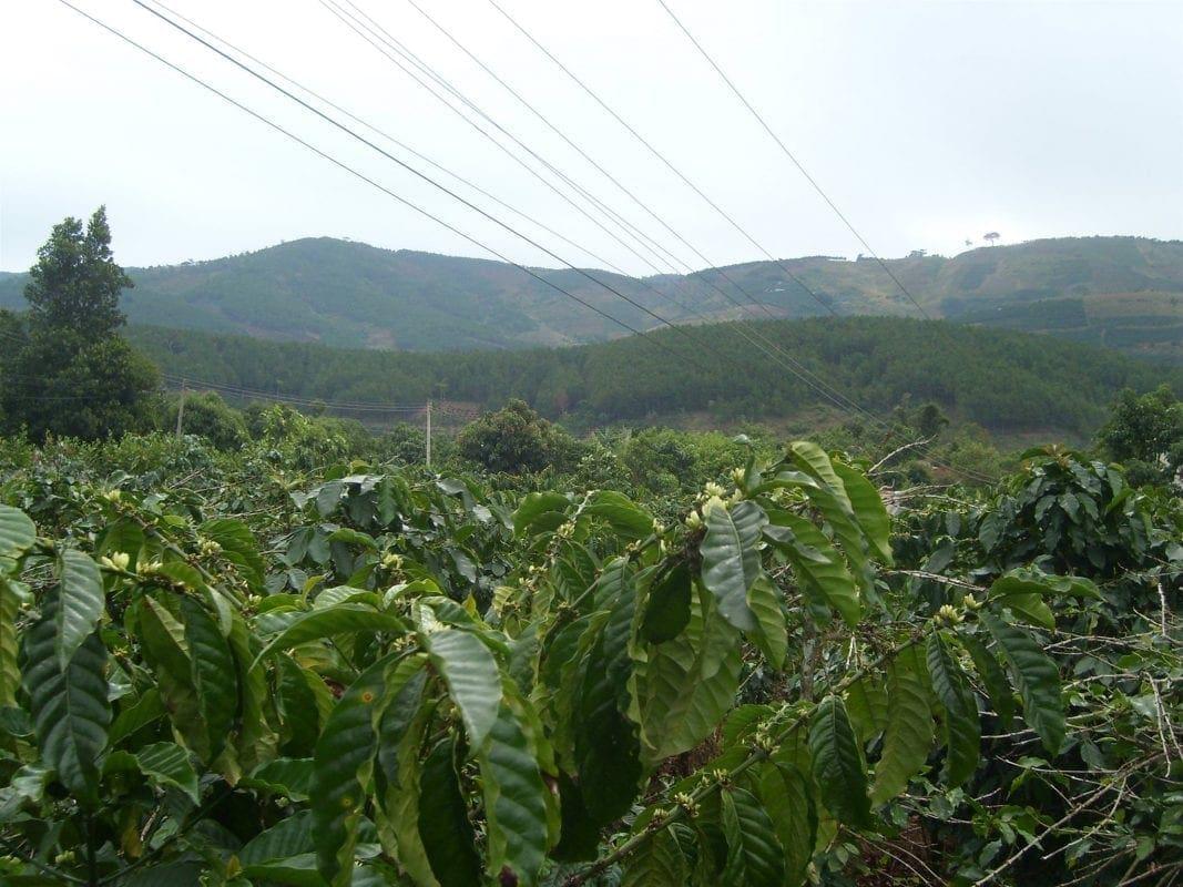Anbau vietnamesischer Kaffee in Buôn Ma Thuột