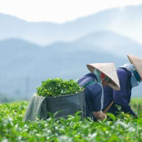 Teeanbau und Teeernte in Vietnam in Da Lat